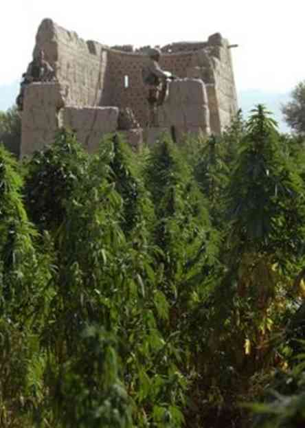 pictures of weed plants. field of marijuana plants