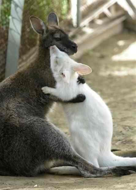 http://allhatnocattle.net/albino_kangaroo.jpg