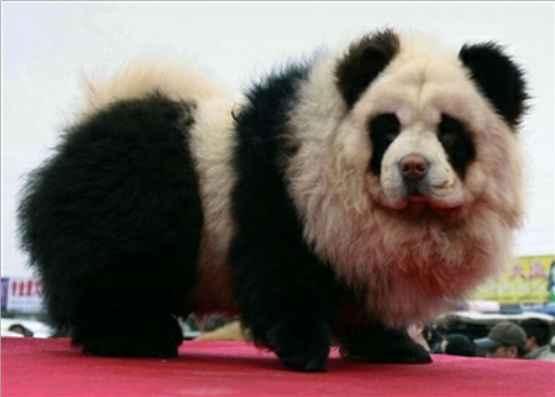 panda dog breed - photo #1